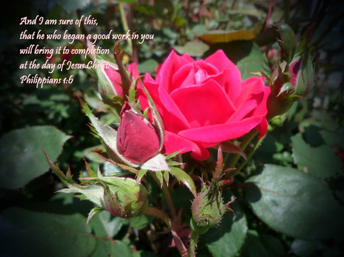 And I am sure of this, that he who began a good work in you will bring it to completion at the day of Jesus Christ. Philippians 1:6 On Photo of Aunt Sarah's Rose Bush by Donna Campbell